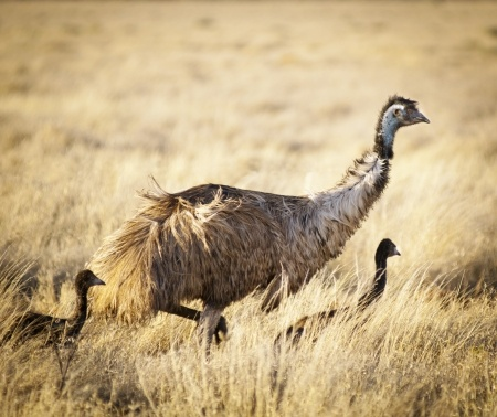 Ramona Emu Ranch