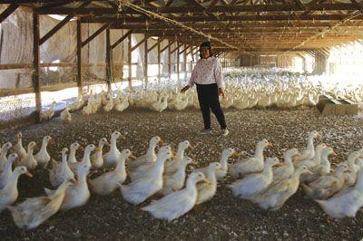Ramona Duck Farm
